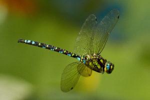 Blaugruene Mosaikjungfer (Aeshna cyanea)