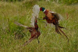 Fasan (Phasianus colchicus) Maennchen beim Kampf