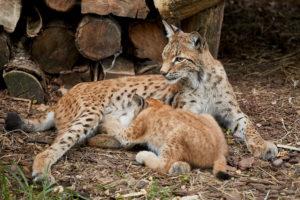 Luchsin (Lynx lynx) mit Jungem beim Saeugen