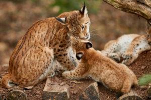 Luchsin (Lynx lynx) mit Jungen