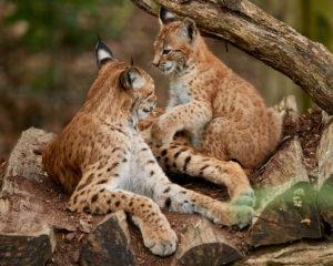 Luchsin (Lynx lynx) mit Jungem