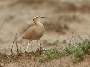 Rennvogel (Cursorius cursor)