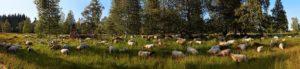 Schafe an der Schwarzwaldhochstrasse