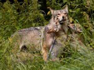 Wolf mit bettelnden Jungen