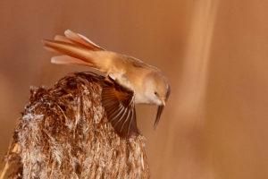 Bartmeise (Panurus biarmicus) ♀