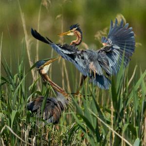Mai 2016 · Purpurreiher - Anflug am Nest