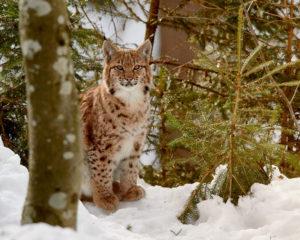 Junger Luchs (Lynx lynx)