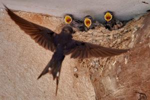 Rauchschwalbe (Hirundo rustica) am Nest