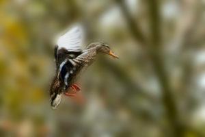 Stockente (Anas platyrhynchos) Weibchen