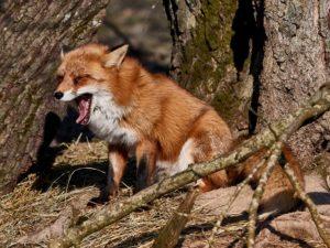Rotfuchs · VuRotfuchs (Vulpes vulpes)