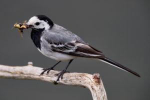 Männchen der Bachstelze (Motacilla alba) im Brutkleid