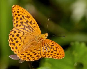 Kaisermantel (Argynnis paphia) Maennchen