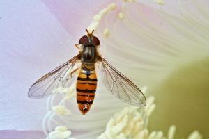 Hainschwebfliege (Episyrphus balteatus) Weibchen