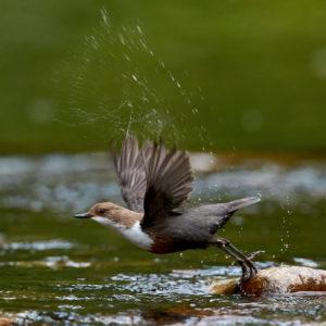 Juni 2018 · Abfliegende Wasseramsel