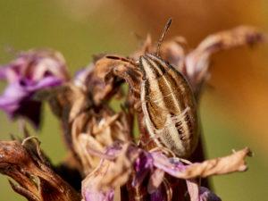 Getreidewanze (Aelia acuminata)