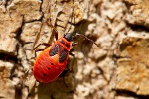 Nymphe der Gemeinen Feuerwanze (Pyrrhocoris apterus)