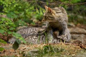 Wildkatze (Felis silvestris silvestris) beim Saeugen