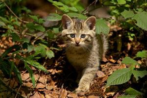 Junge Wildkatze (Felis silvestris silvestris)