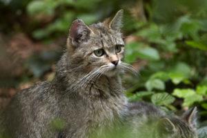 Wildkatze (Felis silvestris silvestris)