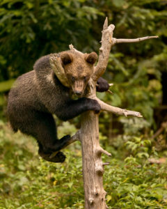 Junger Braunbär (Ursus arctos)