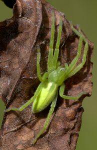 Gruene Huschspinne (Micrommata virescens), Weibchen