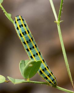 Raupe des Hufeisenklee-Gelblings (Colias alfacariensis)