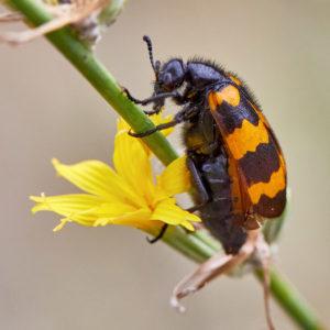 Veraenderlicher Oelkaefer (Mylabris variabilis)