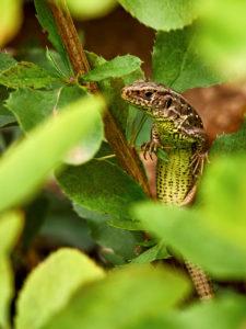 Zauneidechse (Lacerta agilis), Weibchen