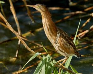 Zwergdommel (Ixobrychus minutus) Jungvogel
