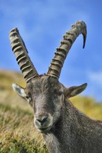 Alpensteinbock (Capra ibex)