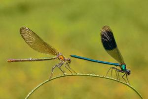 Gebaenderte Prachtlibelle (Calopteryx splendens) Maennchen und Weibchen