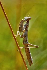 Graue Fangschrecke (Ameles decolor)