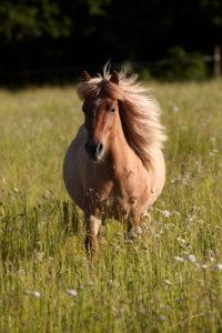 Pferde (Equus) Islandpferd