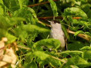 Moenchgrasmuecke (Sylvia atricapilla) Maennchen