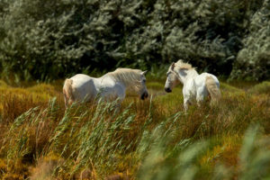 Pferde in der Carmarque