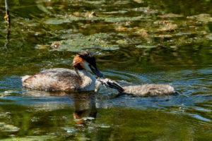 Haubentaucher (Podiceps cristatus) fuettert Jungvogel