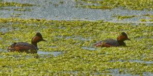 Schwarzhalstaucher (Podiceps nigricollis) im Prachtkleid