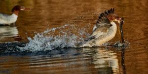 Gaensesaeger (Mergus merganser) Weibchen