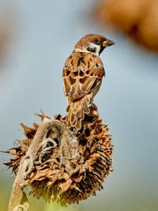 Feldsperling (Passer montanus) Maennchen