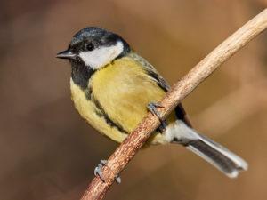 Kohlmeise Weibchen (Parus major)