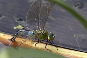 Suedliche Mosaikjungfer (Aeshna affinis)