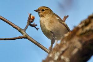 Buchfink (Fringilla coelebs), ♀