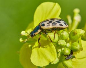 Gefleckter Weidenblattkaefer (Chrysomela vigintipunctata)