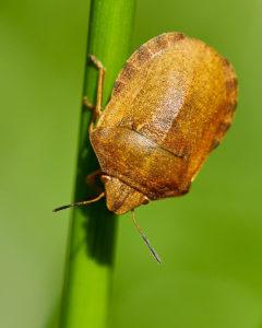 Gemeine Getreidewanze (Eurygaster maura)
