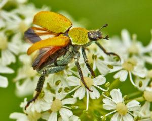 Goldstaub-Laubkäfer (Hoplia argentea)