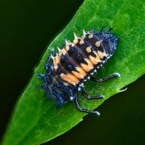 Asiatischer Marienkäfer (Harmonia axyridis) Larve