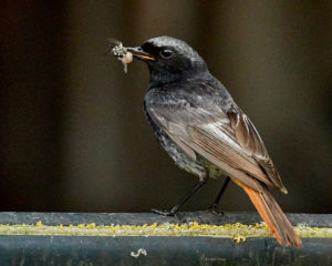 Hausrotschwanz (Ph. och. gibraltariensis) m