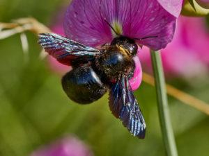 Holzbiene (Xylocopa iris)