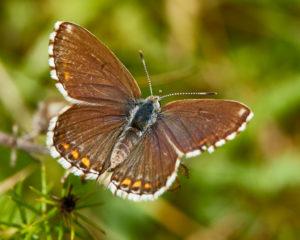 Hauhechel-Bläuling (Polyommatus icarus) Weibchen
