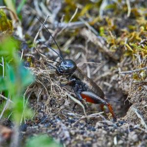 Feldgrille (Gryllus campestris) Maennchen